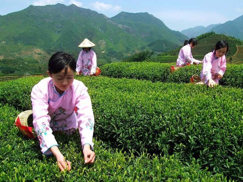 Tea farmers are busy picking tea leaves