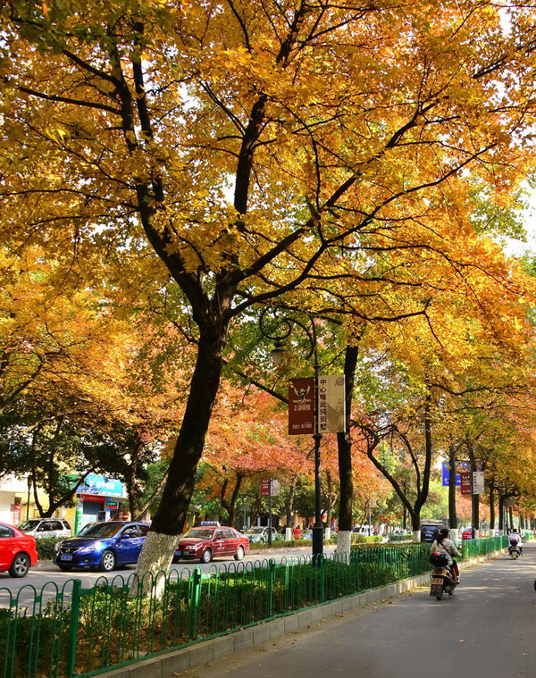 Red maple leaves along Qixing Road,Guilin