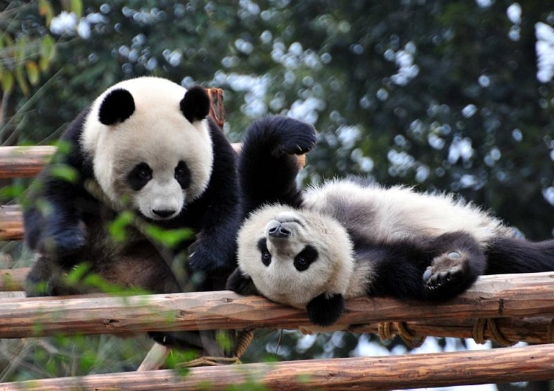 Chengdu Giant Panda Breeding Research Base,Sichuan China