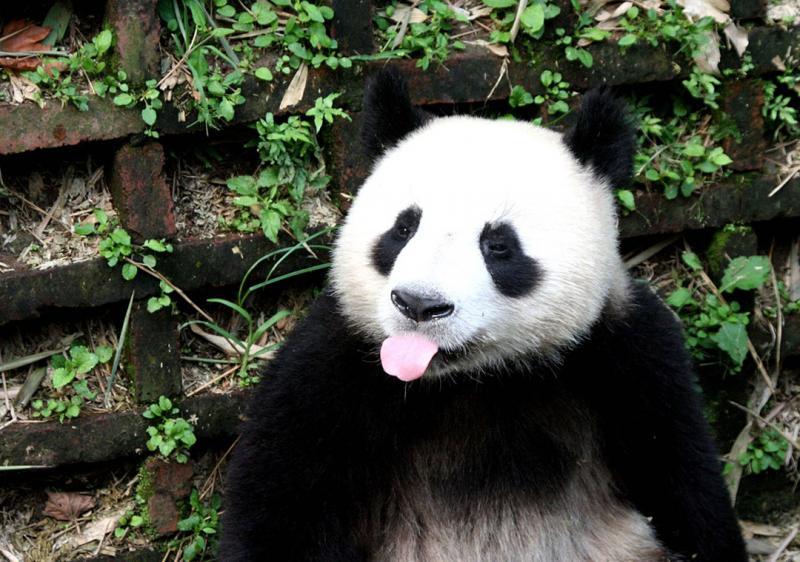 Chengdu Giant Panda Breeding Research Base,Sichuan China
