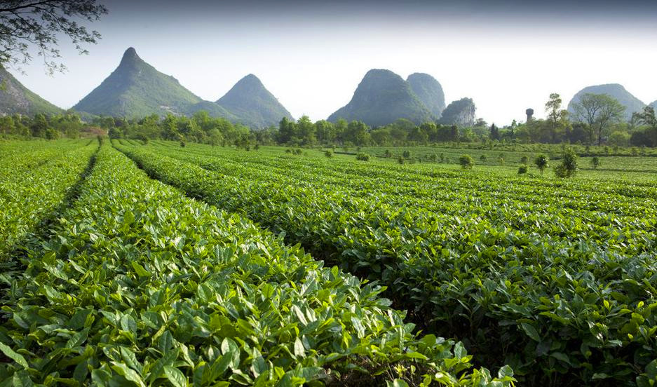 Tea farm near Yao Mountain, Guilin China
